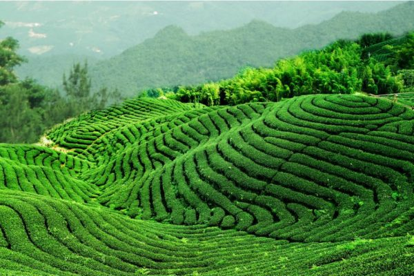 paysage-the-Chine