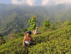 Les Jardins de Gaïa : Cueilleuses de thé au Darjeeling